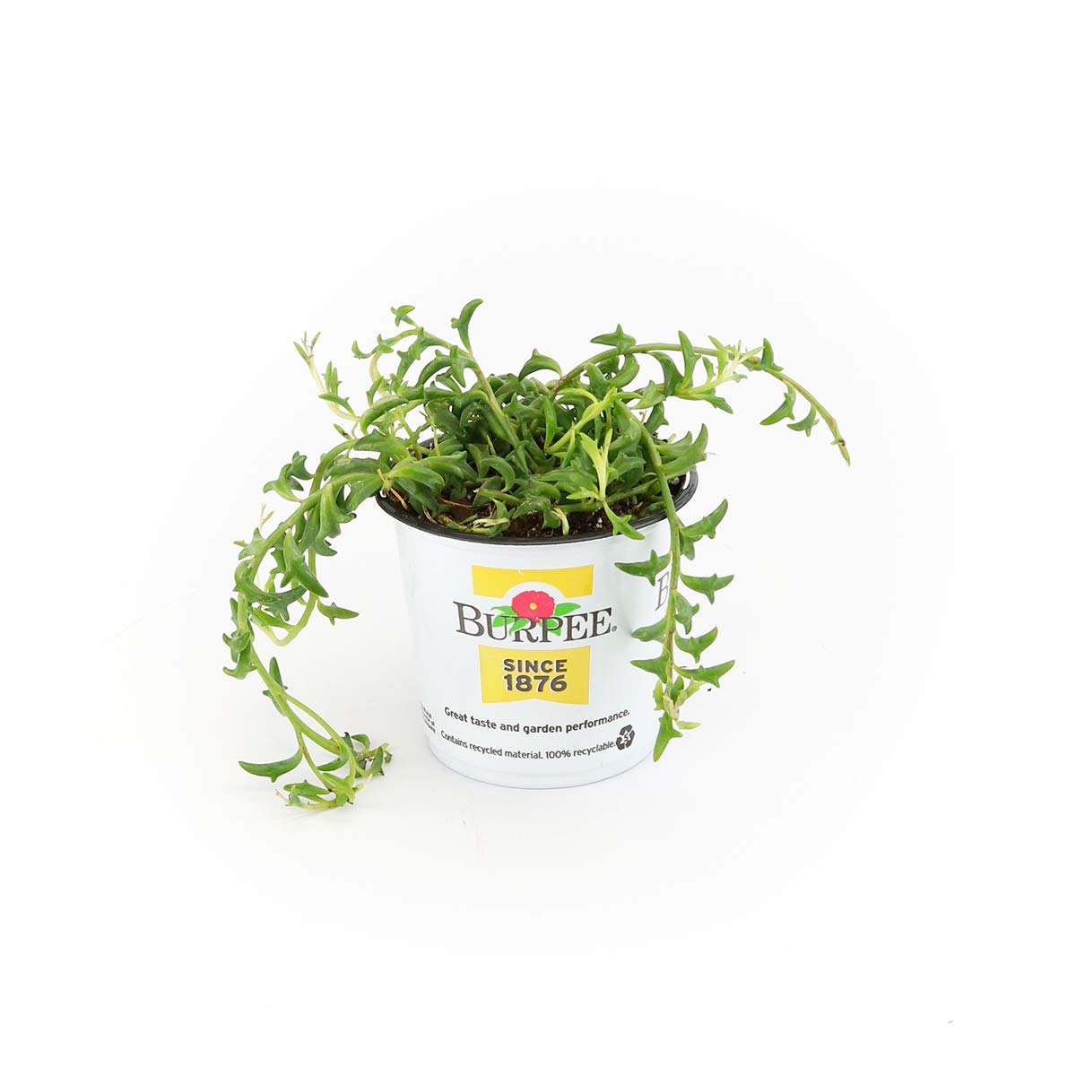 Burpee String of Dolphins Succulent Senecio | Bright Indirect Light | Live Easy Care Indoor House Plant, 4'' Pot by Burpee