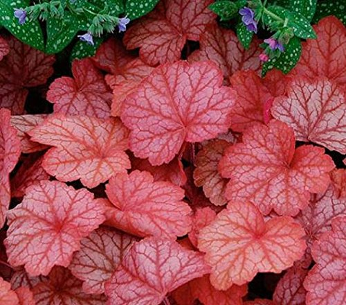 20 pcs/lot Heuchera seed,Coral Flower, Coral Bells colorful leaf bonsai plant DIY home garden