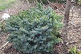 8 Year PLANT of Picea Omorika Pimoko