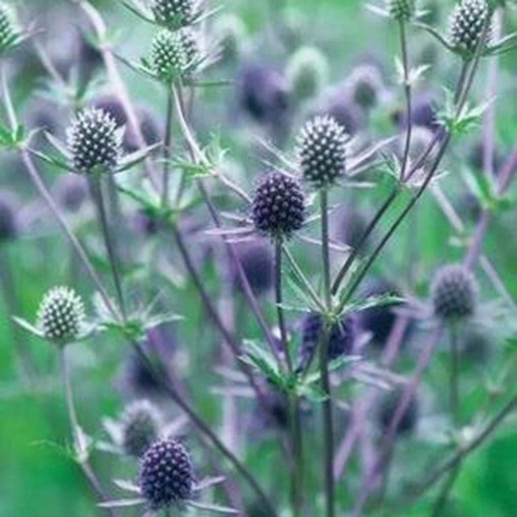 Semi di cardo nobili bluEryngium planum semi di fiori semi perenni fiori estivi perenni resistenti per aiuole//prati Inkeme Giardino
