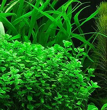 amazon com bacopa monnieri moneywort live freshwater aquarium