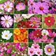 David's Garden Seeds Flower Cosmos Crazy For Cosmos Mix SL113 (Multi) 100 Open Pollinated Seeds