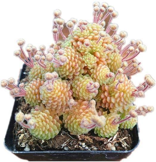 KINGDUO 100Pcs/Pack Monanthes Polyphylla Suculentas Semillas De ...