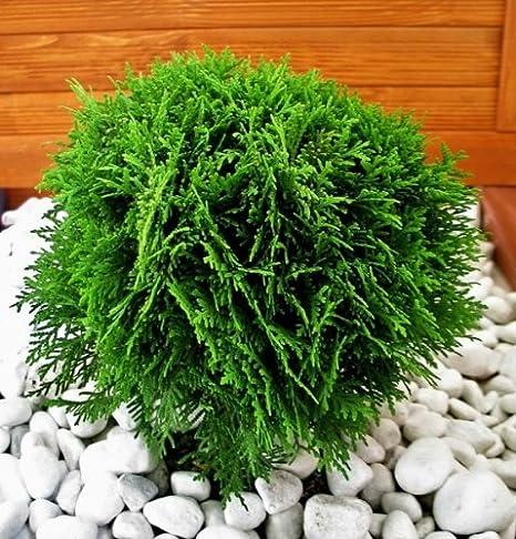 Thuja Tiny Tim 1 Kugel Strauch Thuja Occidentalis 15 20 Cm Im 2 Liter Topf Amazon De Garten