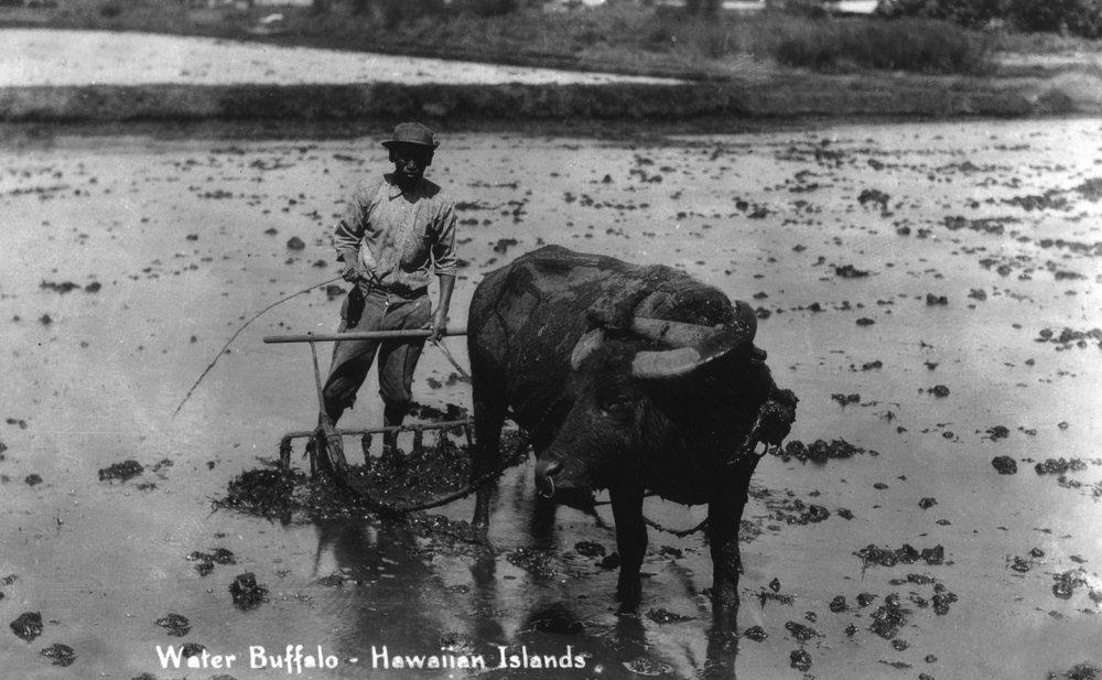 ハワイ – Farmer And Water Buffalo写真 12 x 18 Art Print LANT-32214-12x18 12 x 18 Art Print  B017Z7473Q