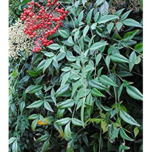 Nandiana Domestica Shrub - Heavenly Bamboo - Healthy Plant - 2 1/2
