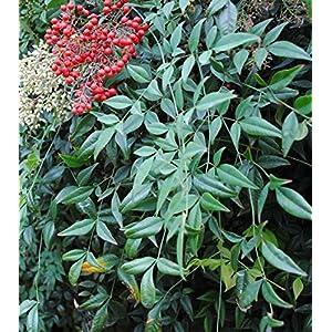 Nandiana Domestica Shrub - Heavenly Bamboo - Healthy Plant - 2 1/2