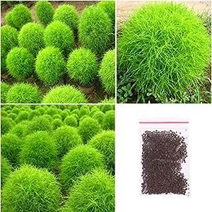 Niome 200 Seeds Kochia Scoparia Grass Plant Summer Cypress Rare Seed Rapid Grow Gift