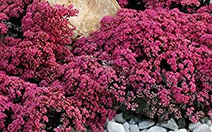 1 Starter Plant of SunSparkler Firecracker Sedum