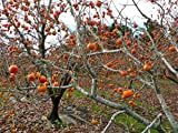 2 American Persimmon Trees, Great Fruit!!