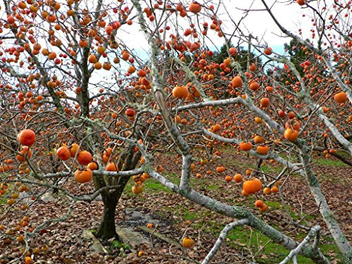 (2 American Persimmon Trees, Great Fruit!!)