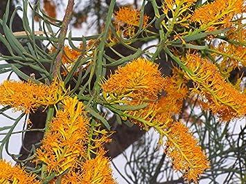 Yellow orange flowering christmas tree from australia rare yellow orange flowering christmas tree from australia rare exotic seeds mightylinksfo