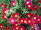 12 pcs Cuttings ICE PLANT Succulent Ground Cover Delosperma, F4929