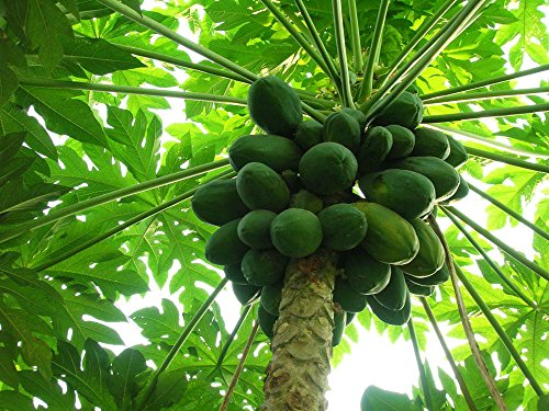 Fruit seeds bonsai Carica papaya seeds semi dwarffast growat1 year fruiting garden decoration plant 30pcs Z60 (Best Time To Plant Papaya Seeds)
