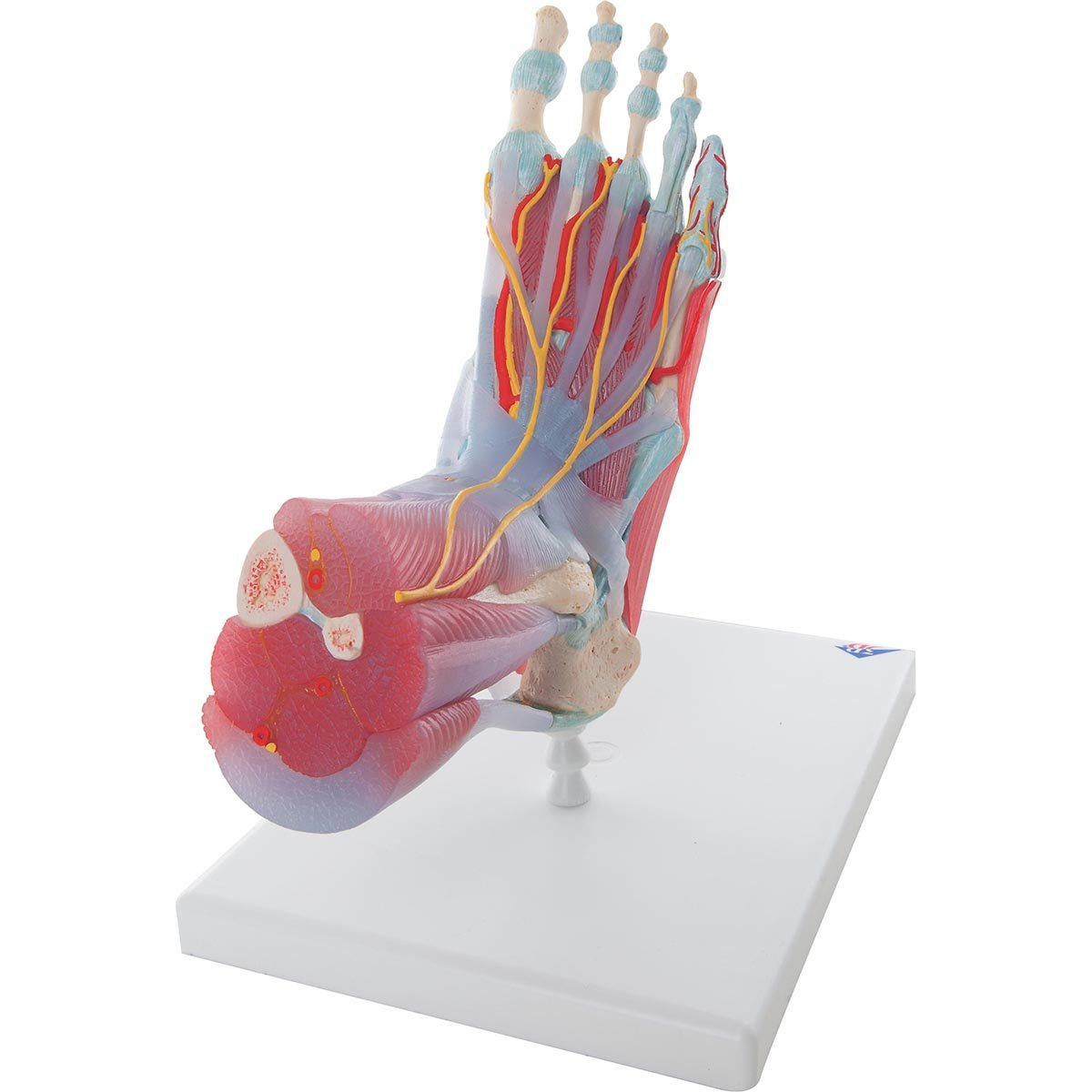 3b Scientific Human Anatomy Foot Skeleton Model With Ligaments And