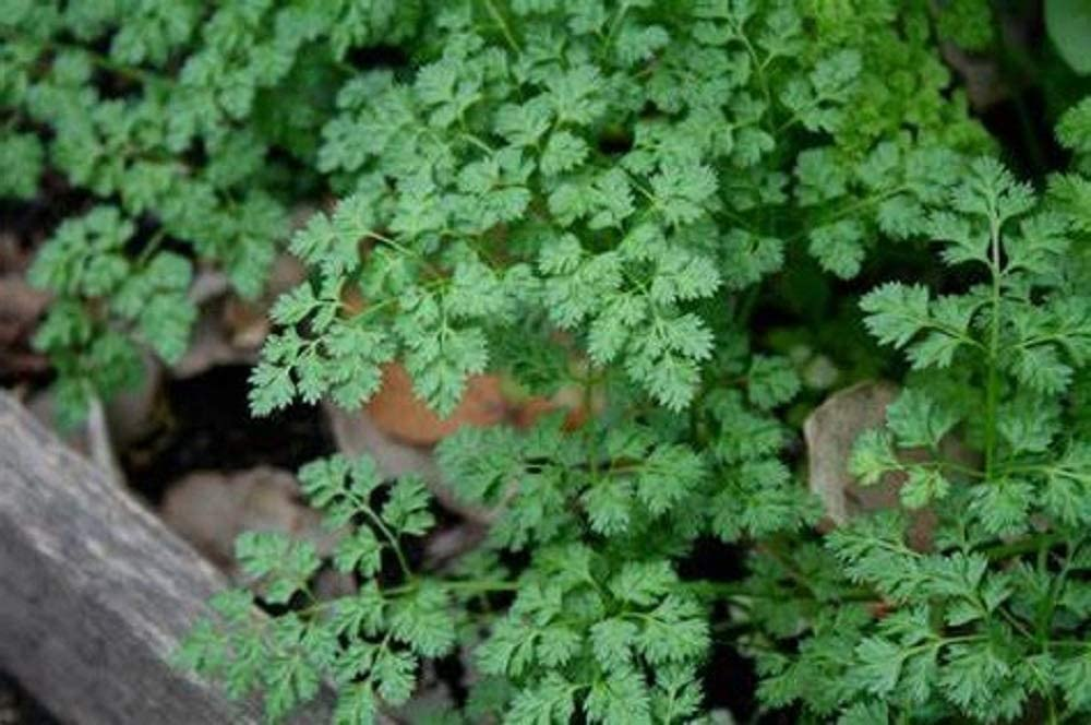 Winter Chervil Seeds - 50 Count Seed Pack - Non-GMO - A Delicate leaved herb That enhances The Flavors of Other Herbs. - Country Creek LLC