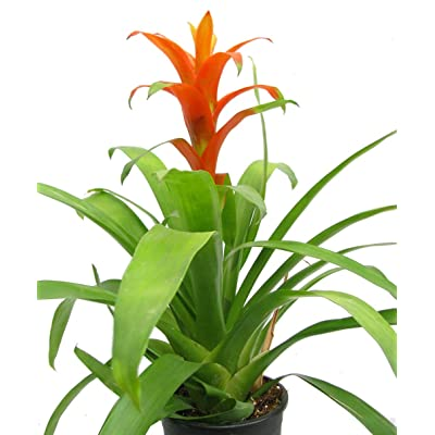 "Orange Jazz Blazing Star Vase Plant - 4"" Pot - Guzmania/Bromeliad: Garden & Outdoor"