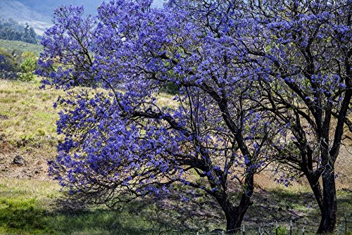 A Jacaranda tree full of purple blossoms Maui Hawaii United States of America Poster Print (8 x 10) (Jacaranda Blossoms)