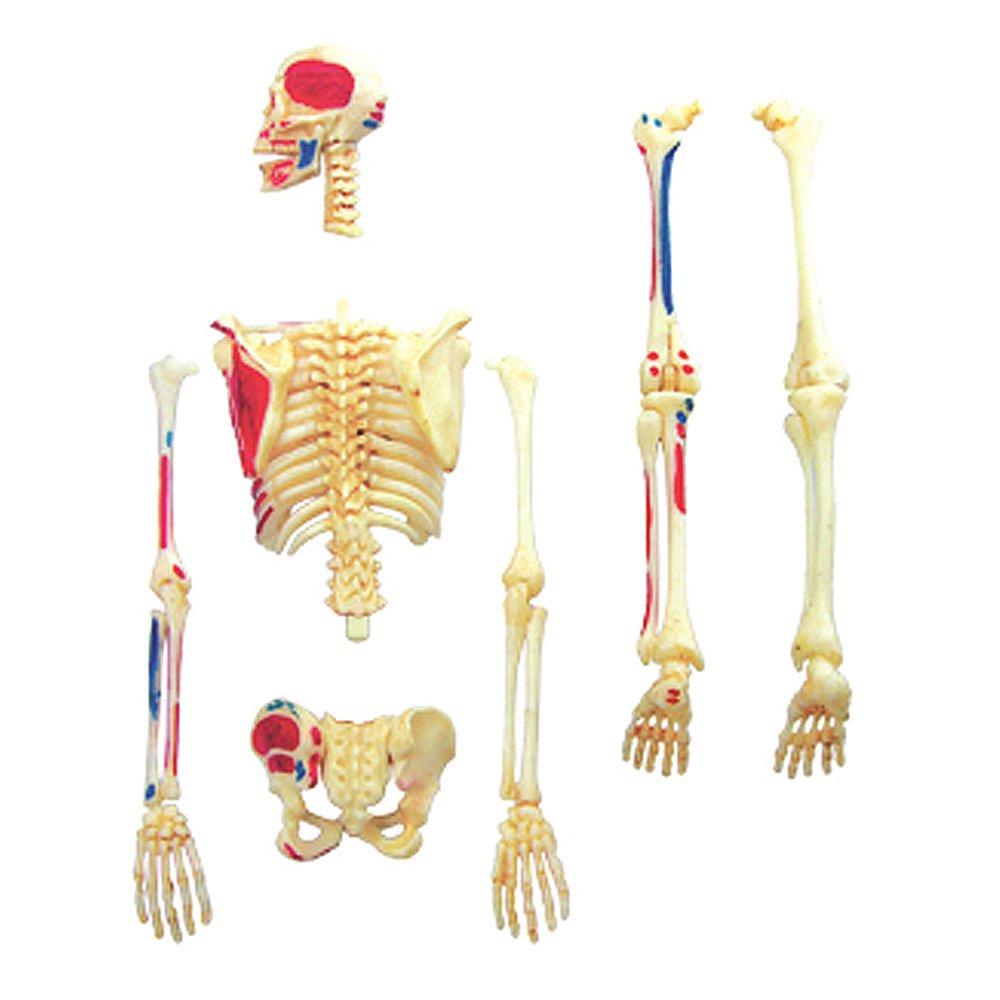 Amazon.com: 4D VISIONS MODELS Visible Human Skeleton Anatomy Kit ...