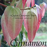 ~Ceylon CINNAMON Tree~ LIVE SPICE TREE Cinnamomum zeylanicum Small Potted Plant