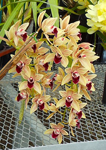 Orchid Insanity -- Cymbidium Mem. Amelia Earhart -- lots of flowers, easy to grow and bloom, great for beginners, pendulous (Gold Cymbidium)