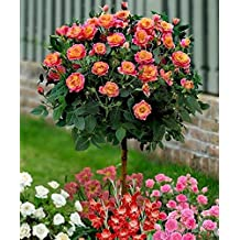 50 Orange Rose Tree Seeds , rare color, gorgeous, pleasant-smelling fragrant