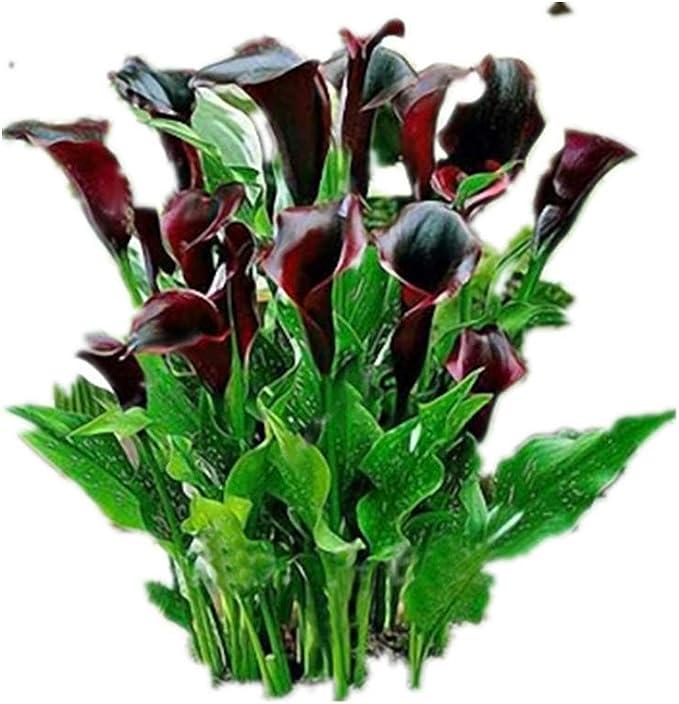 KINGDUO 50 Pcs Calla Lily Semillas Trópico Embellecimiento Plantas Jardín Maceta Flores Perenne Lirio Semillas-Vino Rojo: Amazon.es: Hogar