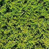 Living Moss - Fresh Sheet Moss Perfect for Terrariums and Bonsai