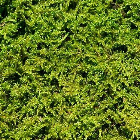Living Moss Fresh Sheet Moss Perfect For Terrariums And Bonsai