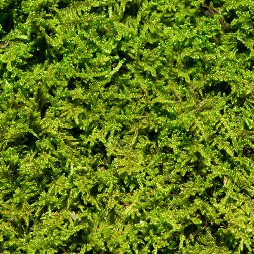 Living Moss - Fresh Sheet Moss Perfect for Terrariums and Bonsai