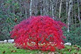 Tamukeyama Red Weeping Laceleaf Japanese Maple - 2 - Year Live Plant