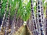 100+ Sugar Cane Seeds