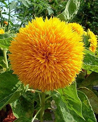 Teddy Bear Sunflower - 20 Seeds, 750 mg