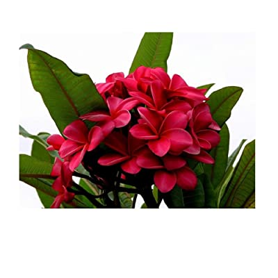 Hawaiian Red Plumeria Plant Cutting Kanoa Hawaii 1 Pack SK34 : Garden & Outdoor