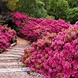 Cottage Hill Azalea 'Rene Michelle' -2 Piece Live Plant, Pink-Red Blooms