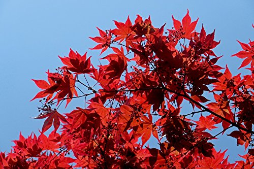 Japanese Red Maple Tree No California Live Plant Shipped 1 Foot Tall by DAS Farms