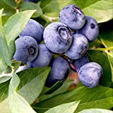 100 EUROPEAN BLUEBERRY SEEDS BILBERRY LOW BUSH RARE Sweet Vaccinium Myrtillus US