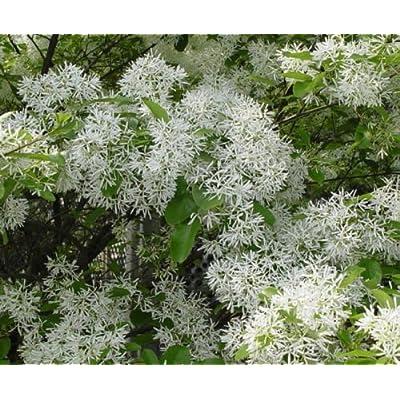 White Fringe Tree Amazing White Flowers and Fruit Shrub Live Plant : Garden & Outdoor