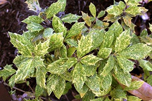 (3 Osmanthus heterophyllus 'Goshiki'- Tea Olive/Variegated Holly Leaf Osmanthus)