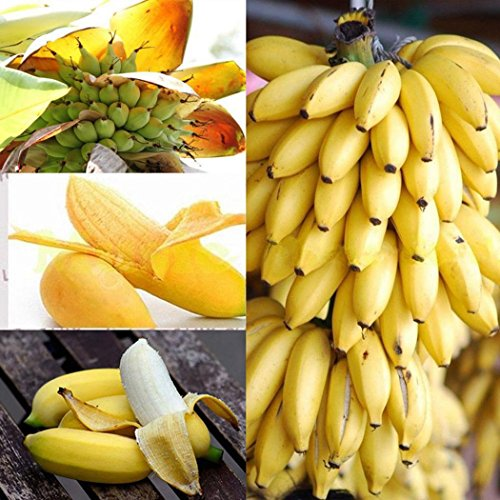 10PCS Bonsai Fruit Tree Seeds Dwarf Banana Seeds Bonsai Tree Tropical Fruit Seeds Balcony Flower for Home Planting