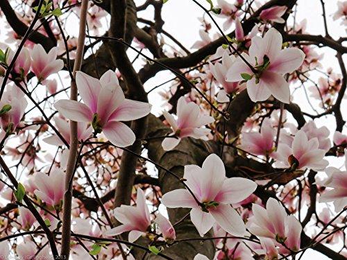 1 Saucer Soulangeana Magnolia shrub/tree