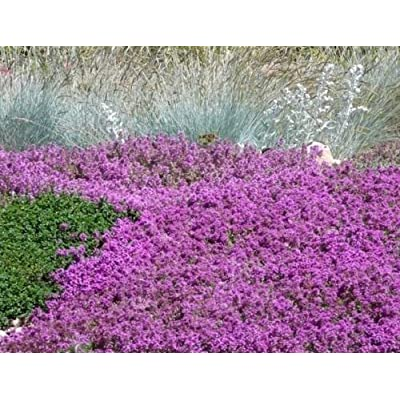 1/2 oz Mother of Thyme Seeds, Groundcover, Heirloom Non-GMO Seeds, About 88, 500 : Garden & Outdoor