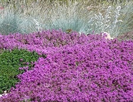 Amazon Com 100 Flowering Groundcover Seeds Creeping Thyme