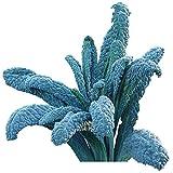 Burpee Lacinato Kale Seeds 500 seeds