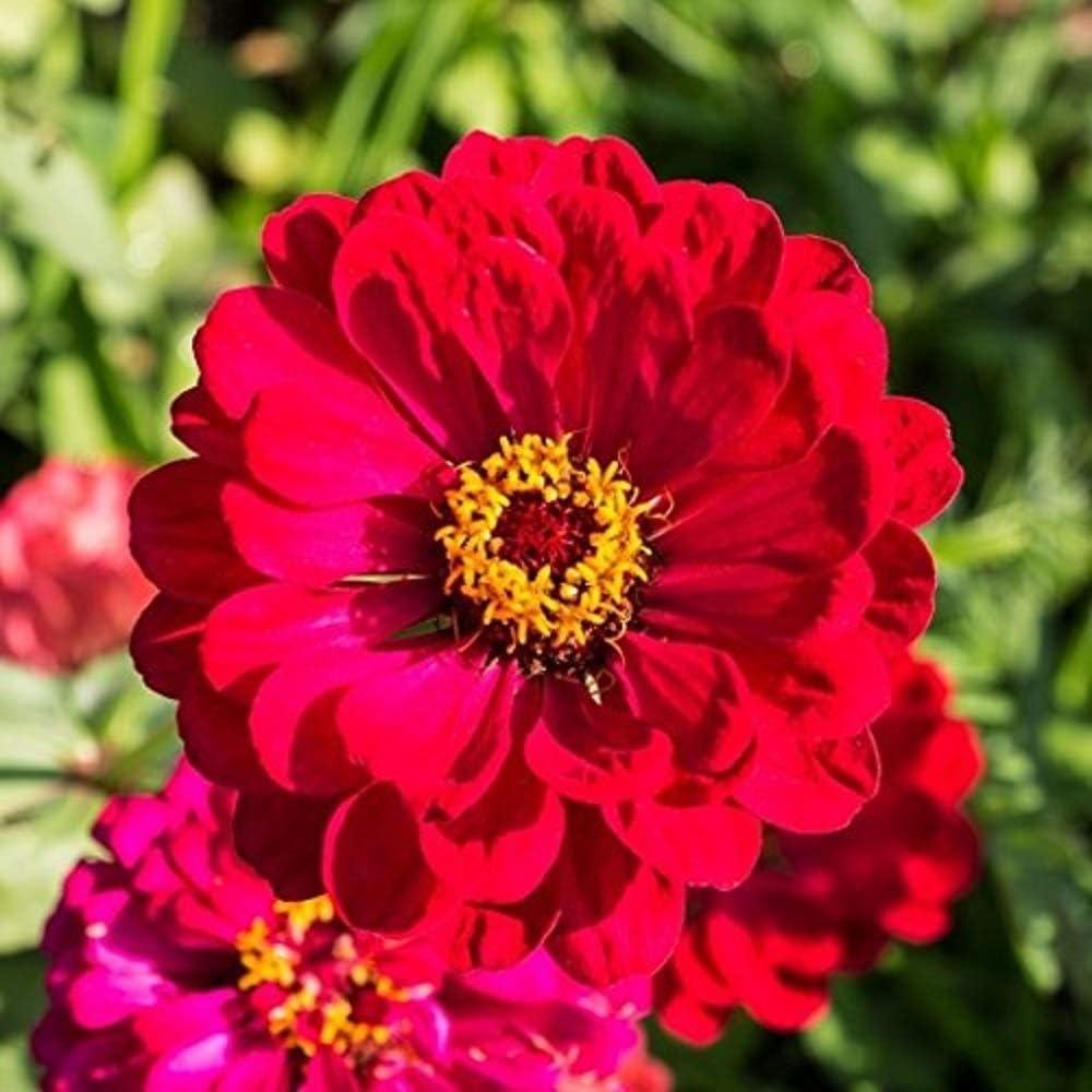 David's Garden Seeds Flower Zinnia Solid Color Cherry Queen 1157 (Red) 500 Non-GMO, Heirloom Seeds