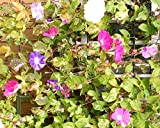 Morning Glory Tall Mix Wildflower Seeds Sizes to 5LB Colors Vine #329 (68K seeds, or 5 Pounds)
