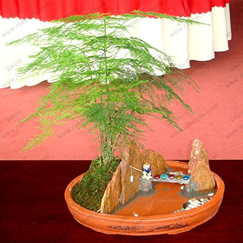 Asparagus fern plant seeds indoor bonsai asparagus perennial small bamboo seed 30 particles / bag SVI