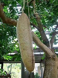 Kigelia pinnata SAUSAGE TREE Seeds!