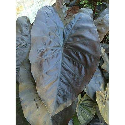 AchmadAnam - Live Plant - Elephant Ear Blue Gecko Electric Colocasia 3-Inch Pot Outdoor Plant : Garden & Outdoor