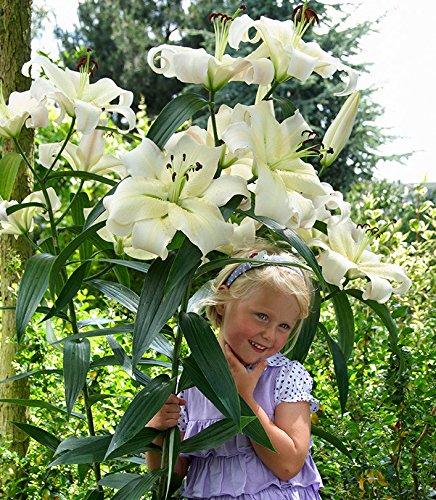 Tree Lily Lilium Pretty Women - bulb/tuber/root - GardenSeedsMarket